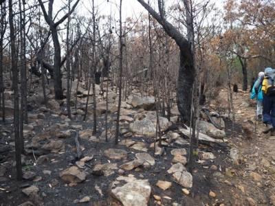 b2ap3_thumbnail_Cypress-pine-trees-killed-in-The-Picaninny-fuel-reduction-burn-.jpg