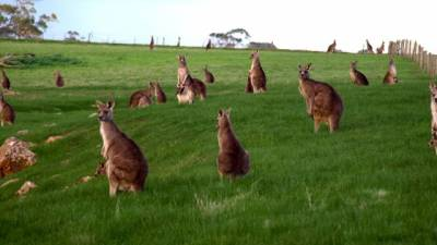 b2ap3_thumbnail_Kangaroos-Grazing-on-the-hillside.jpg