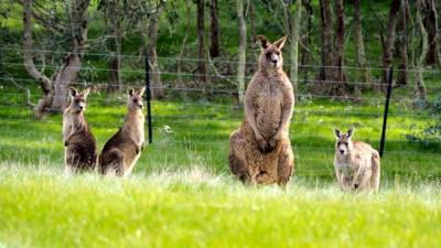 b2ap3_thumbnail_Kangaroos-watching-.jpg