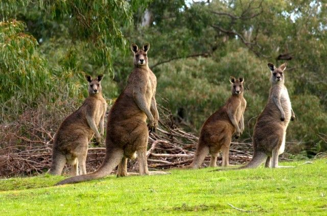Healthy kangaroos at Griffins Hill Retreat